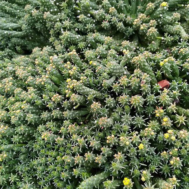 Delicious mat of sedum rubrotinctum  last night @royalbotanicgardensvic at Guilfoyle's Volcano #gardeninspo #landscapedesign #landscapemaintenance #verticalgarden #greenroof #greeninfrastructure #sedum  #succulents