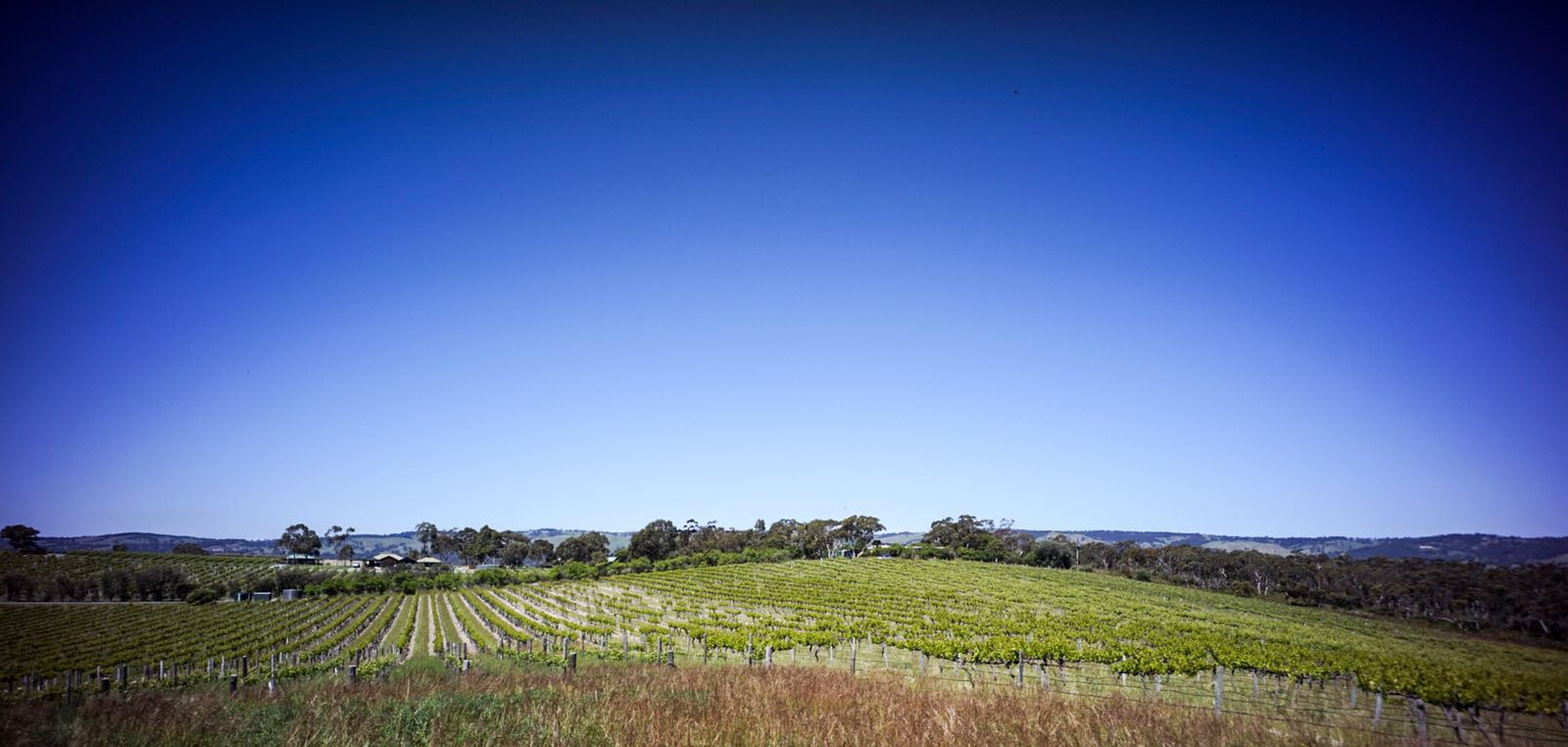 View over an Ulithorne Vineyard, McLaren Vale