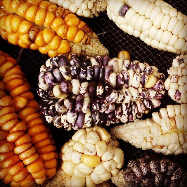 Keep the #HERITAGE alive!!! This amazing rainbow of colours show the diversity of corn in Mexico. It's a heritage is seeds that we cannot afford to lose or neglect!  That's why we are dedicated to getting you blue corn from the rural communities in Mexico, who pass on their seeds from generation to generation :) #continuethelegacy @bluepinole @PeakPinole #diversity #nature #corn #blue #farming #harvest #Mexico