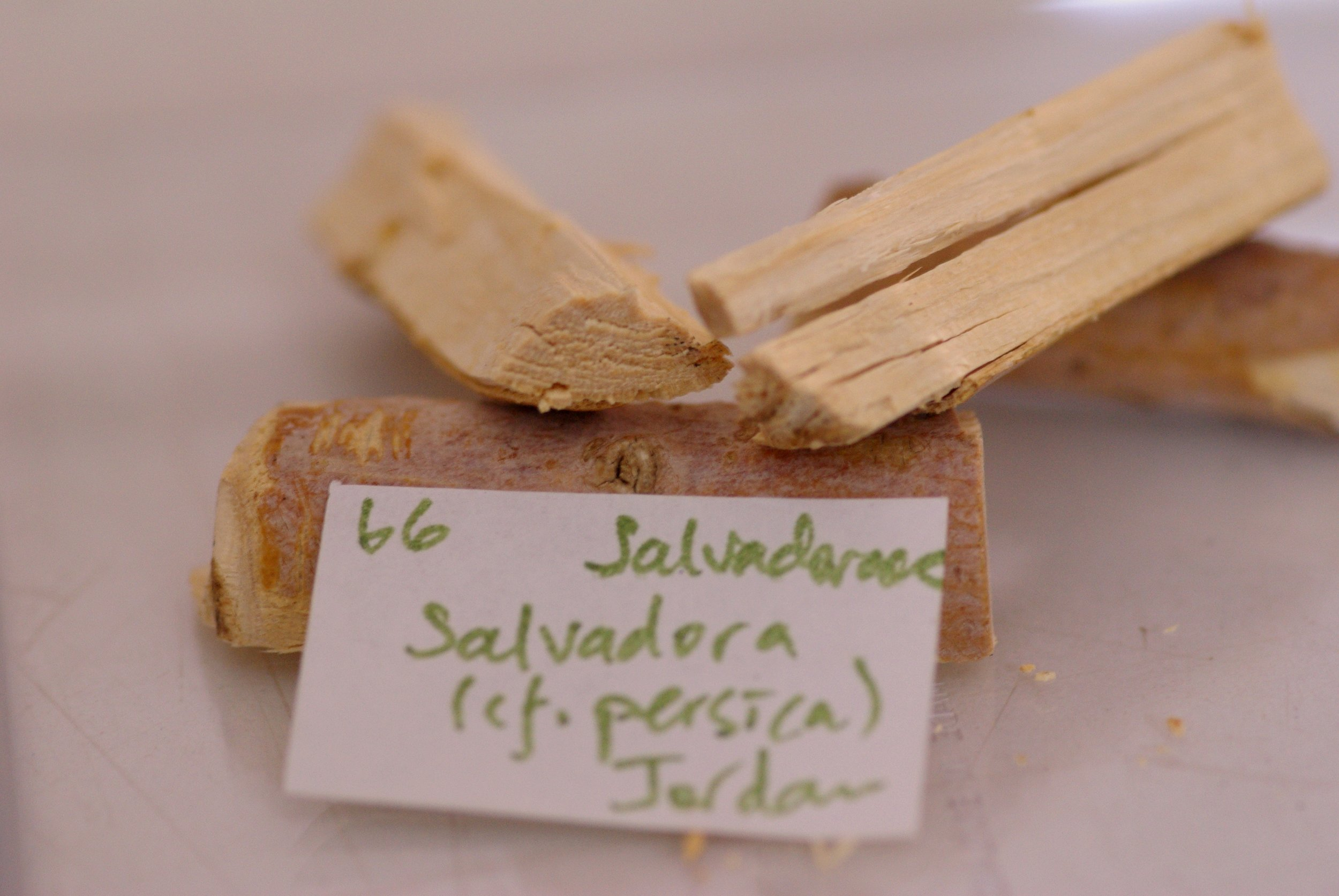 "Salvadora persica, the ""toothbrush tree"", is used as a toothpick as it is very fibrous wood and has some antiseptic properties"