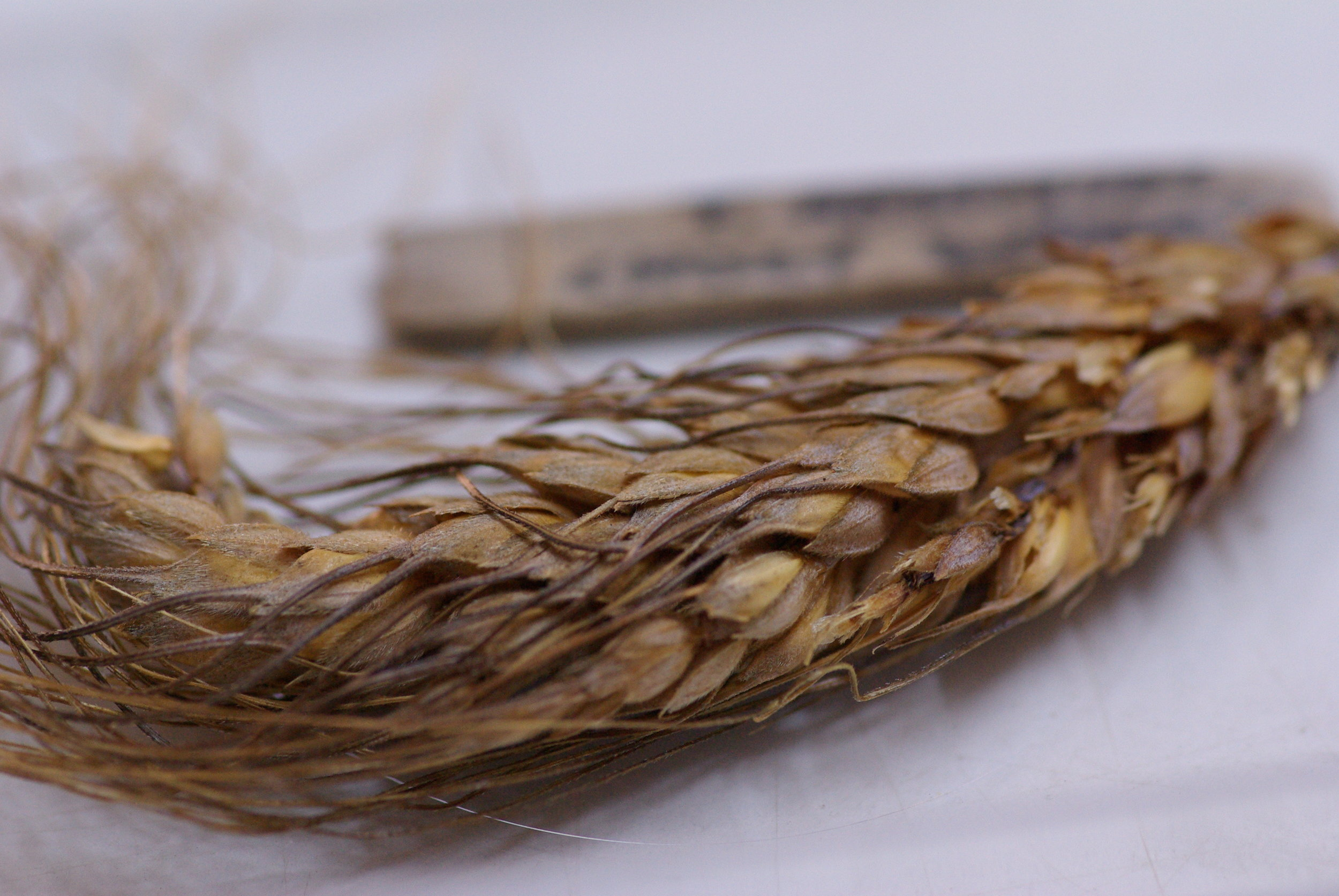 Among the economic plants, we have some specimens from crops such as einkorn and a branching wheat, or 'Holy Wheat', which are very rare crops in the region today.