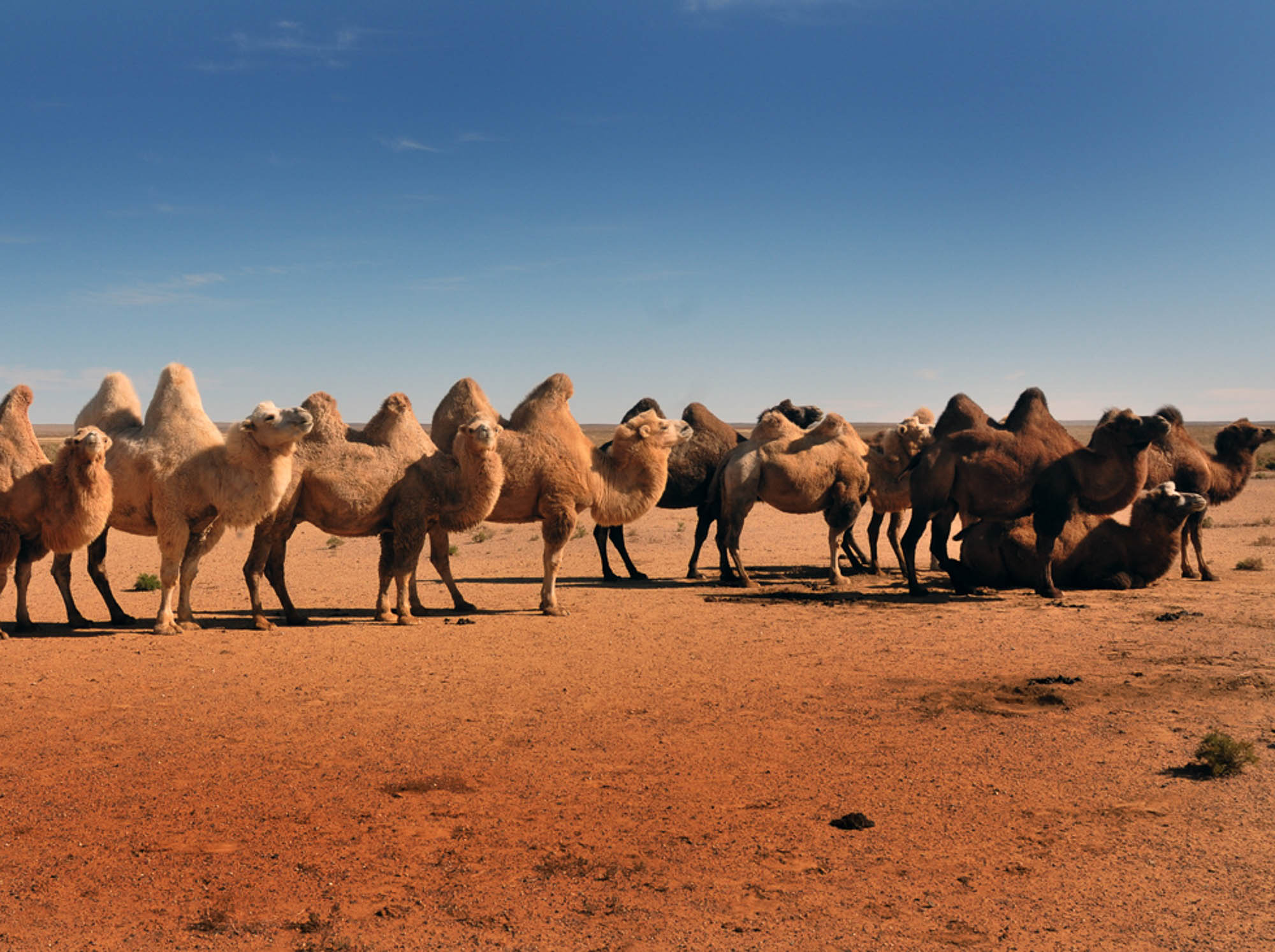 Mongolie chameaux.jpg