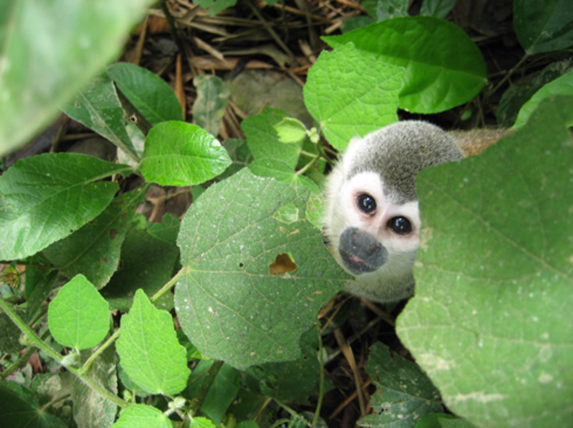 Equateur singe.jpg