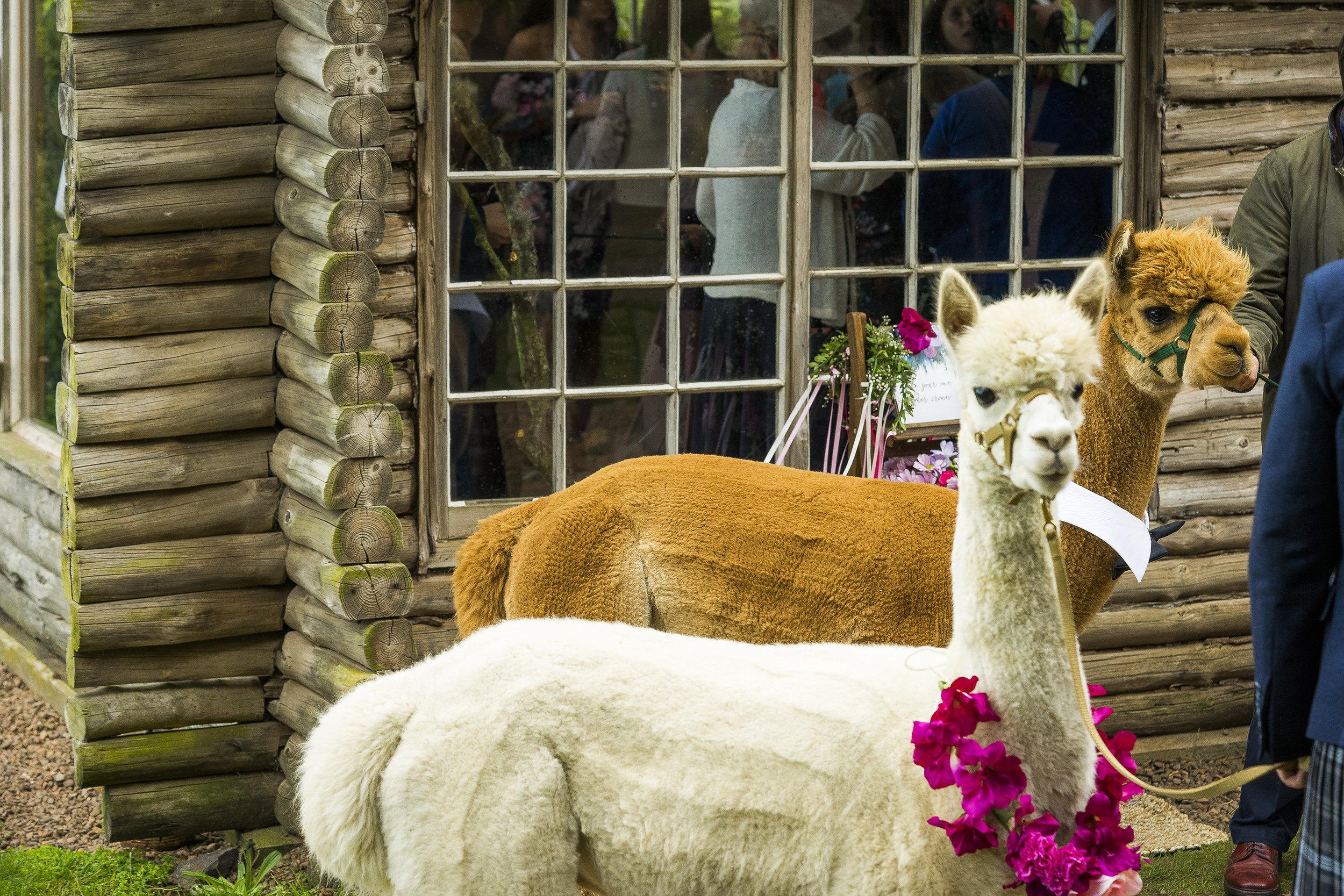 Ian and Ashley wedding alpacas.jpg