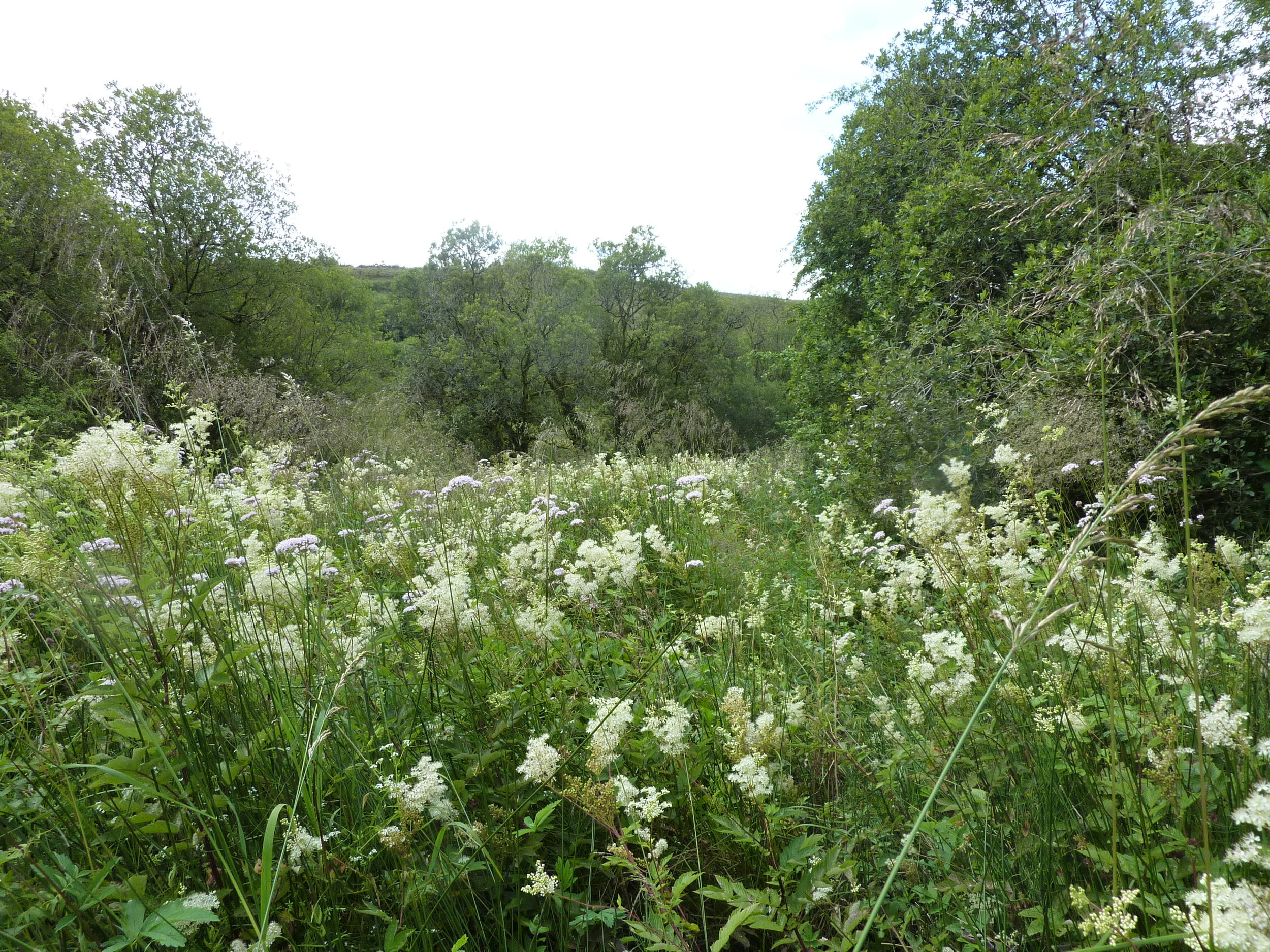 Meadowsweet in June