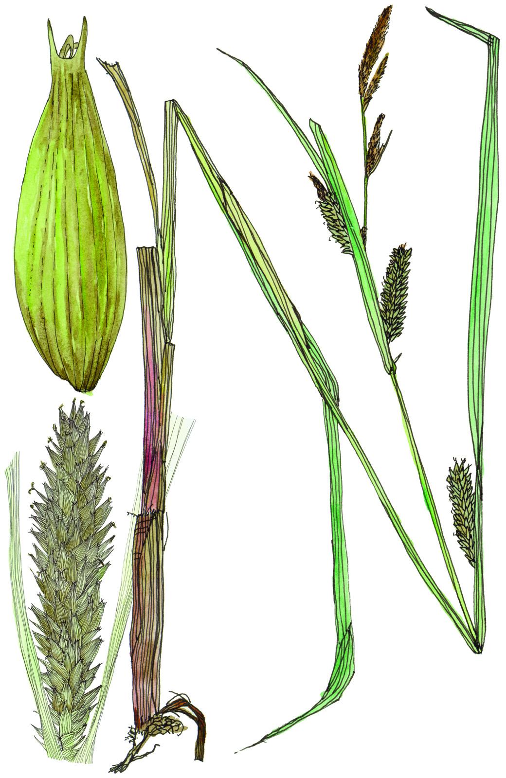 Fig31_Carex_lacustris.jpg
