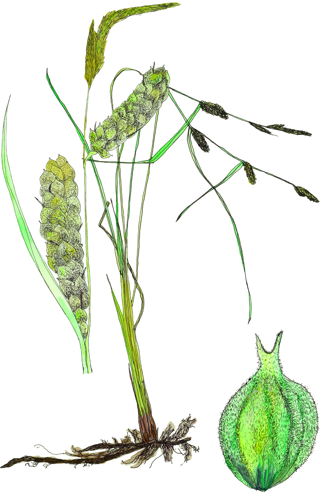 Fig34_Carex_pellita.jpg