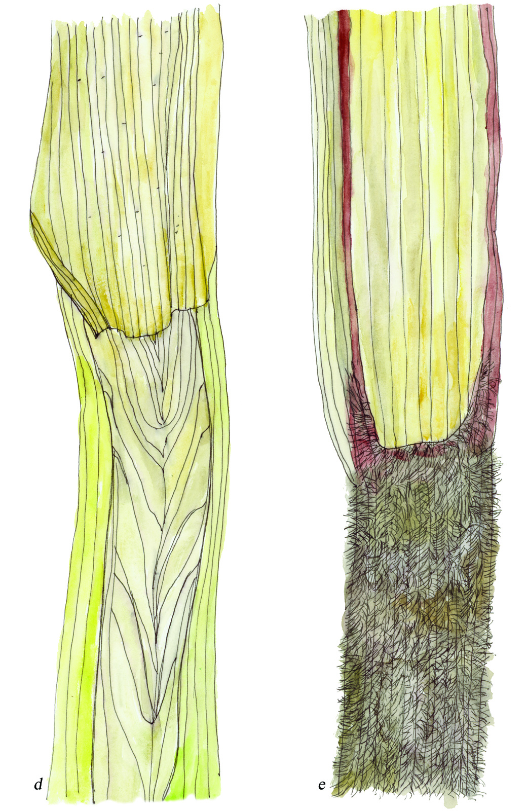 Fig33_Carex_laeviconica-atherodes.jpg