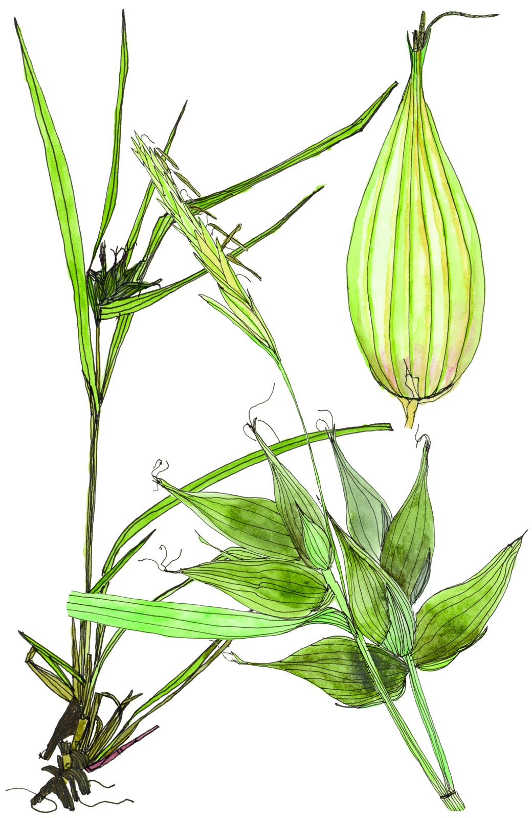 Fig35_Carex_intumescens.jpg