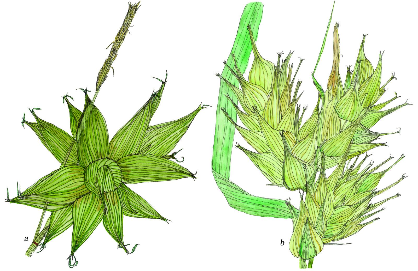 Fig36_Carex_lupulina-grayi.jpg