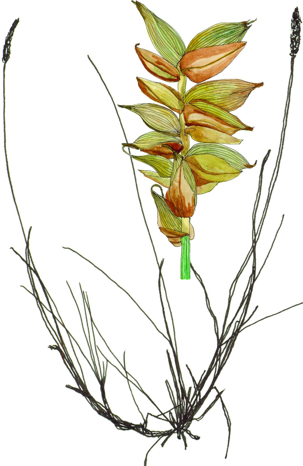 Fig37_Carex_gynocrates.jpg