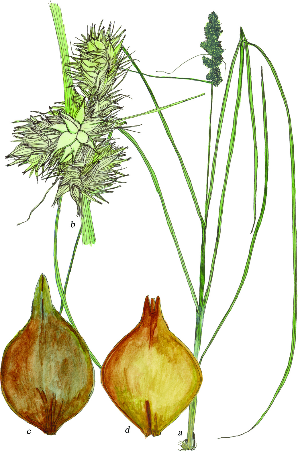 Fig39_Carex_vulpinoidea.jpg