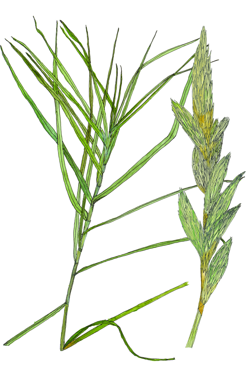 Fig52_Carex_muskingumensis.jpg