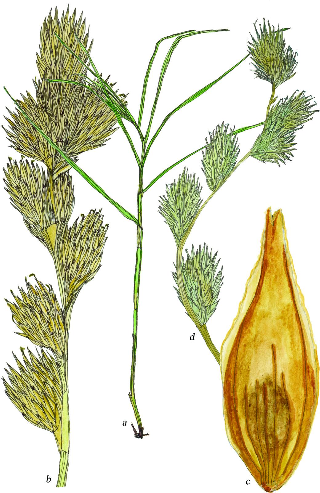 Fig53_Carex_tribuloides.jpg