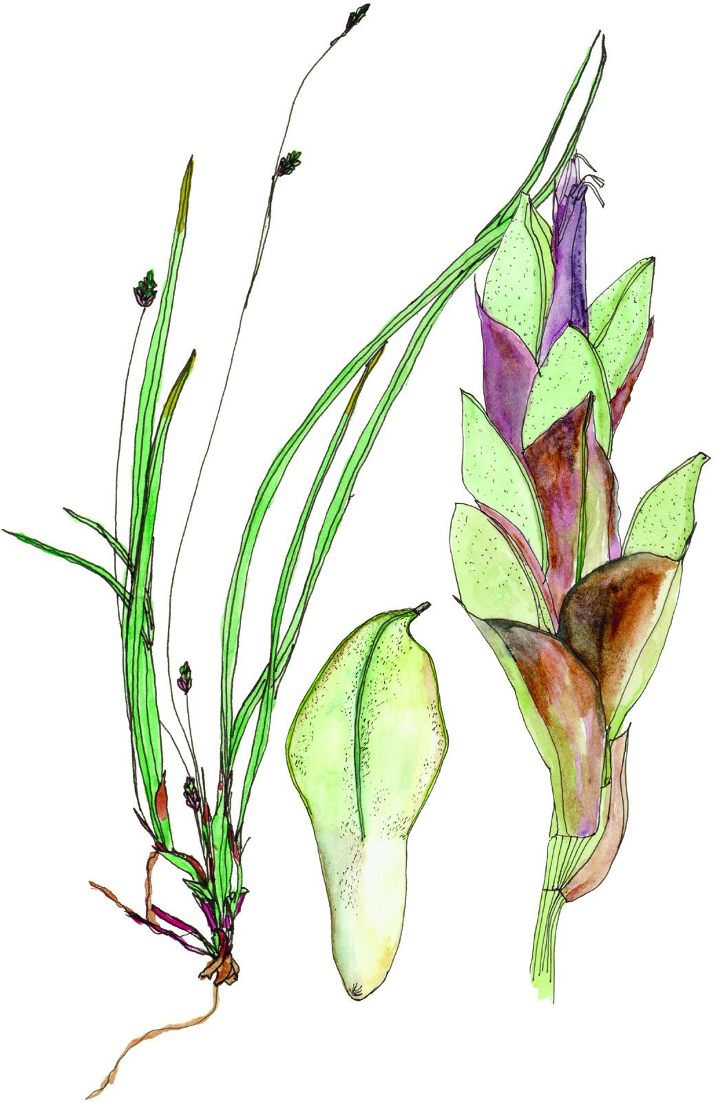 Fig4_Carex_pedunculata.jpg