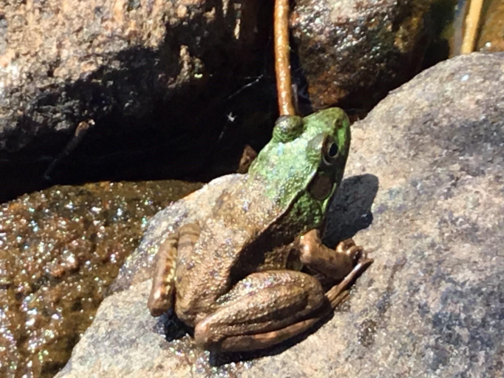 frog_iveslake.jpg