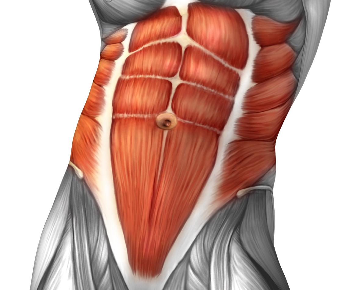 Core. Core abdominals. Six-pack abs. Transversus abdominus. Internal oblique. External oblique.