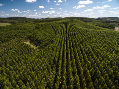 Airial view of a Eucalyptus tree Field