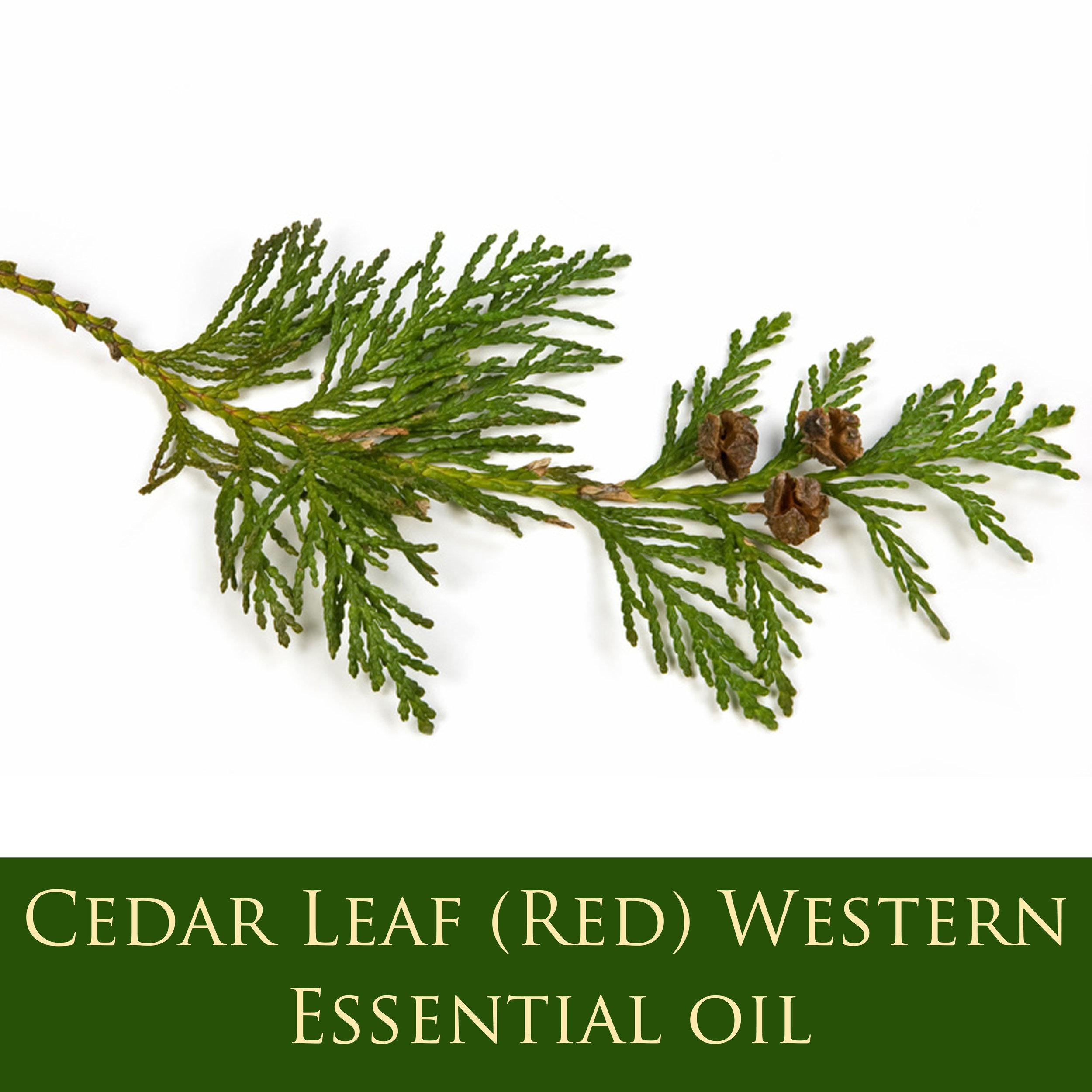 Red Cedar Leaf (Western) eo.jpg