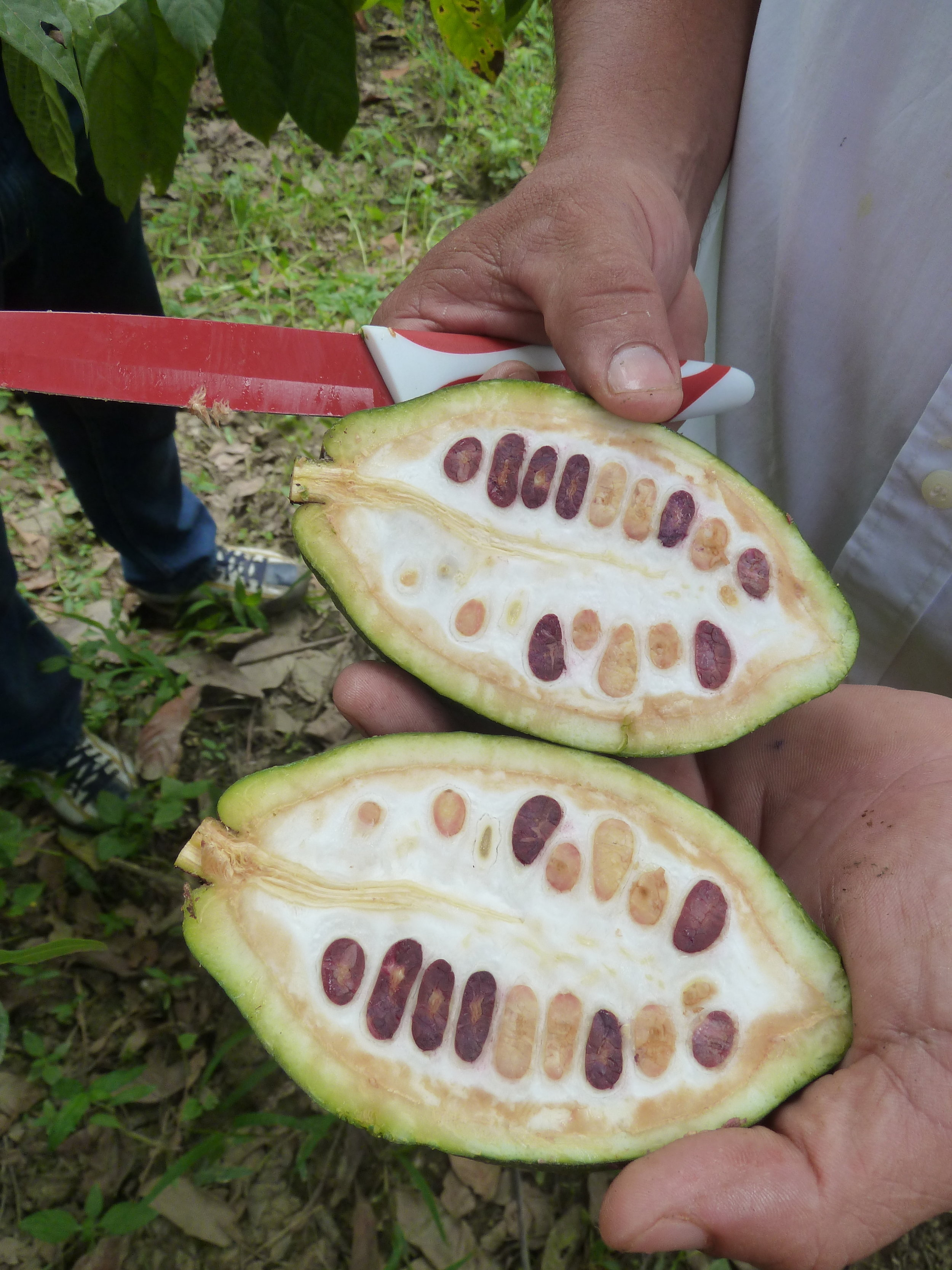 Garcoa Peru Chulucanas Kakao Porcelana.JPG