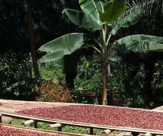 Garçoa Drying Cacao Suhum Ghana.jpg