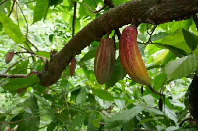 Garcoa in India - Idukki Cacao.JPG
