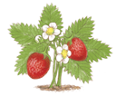 ff_strawberry.png