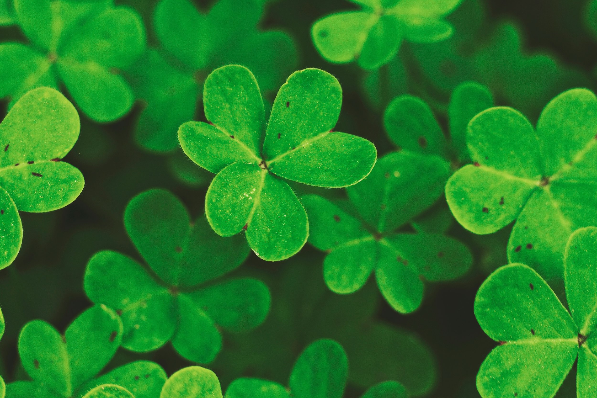The Shamrock is the traditional emblem of this famous Irish festival