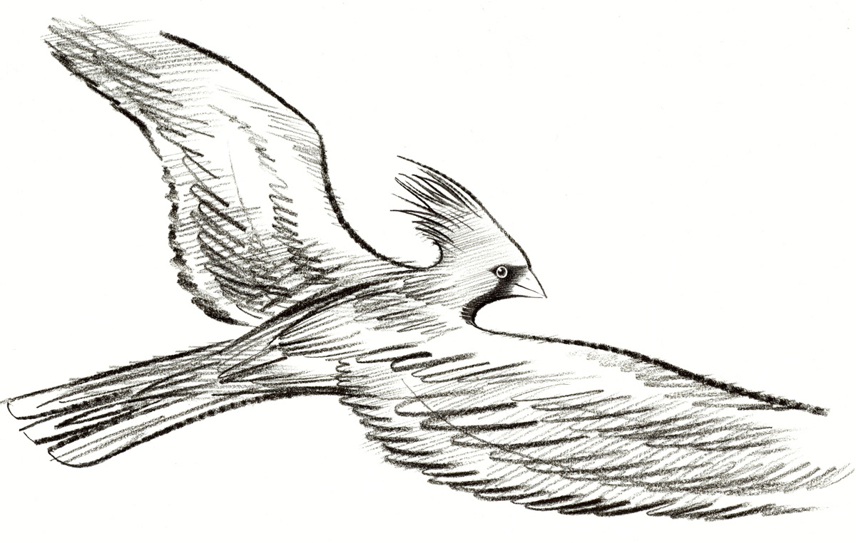 above  is a close up view of the  charcoal & crayon drawing  of the red Cardinal bird flying above