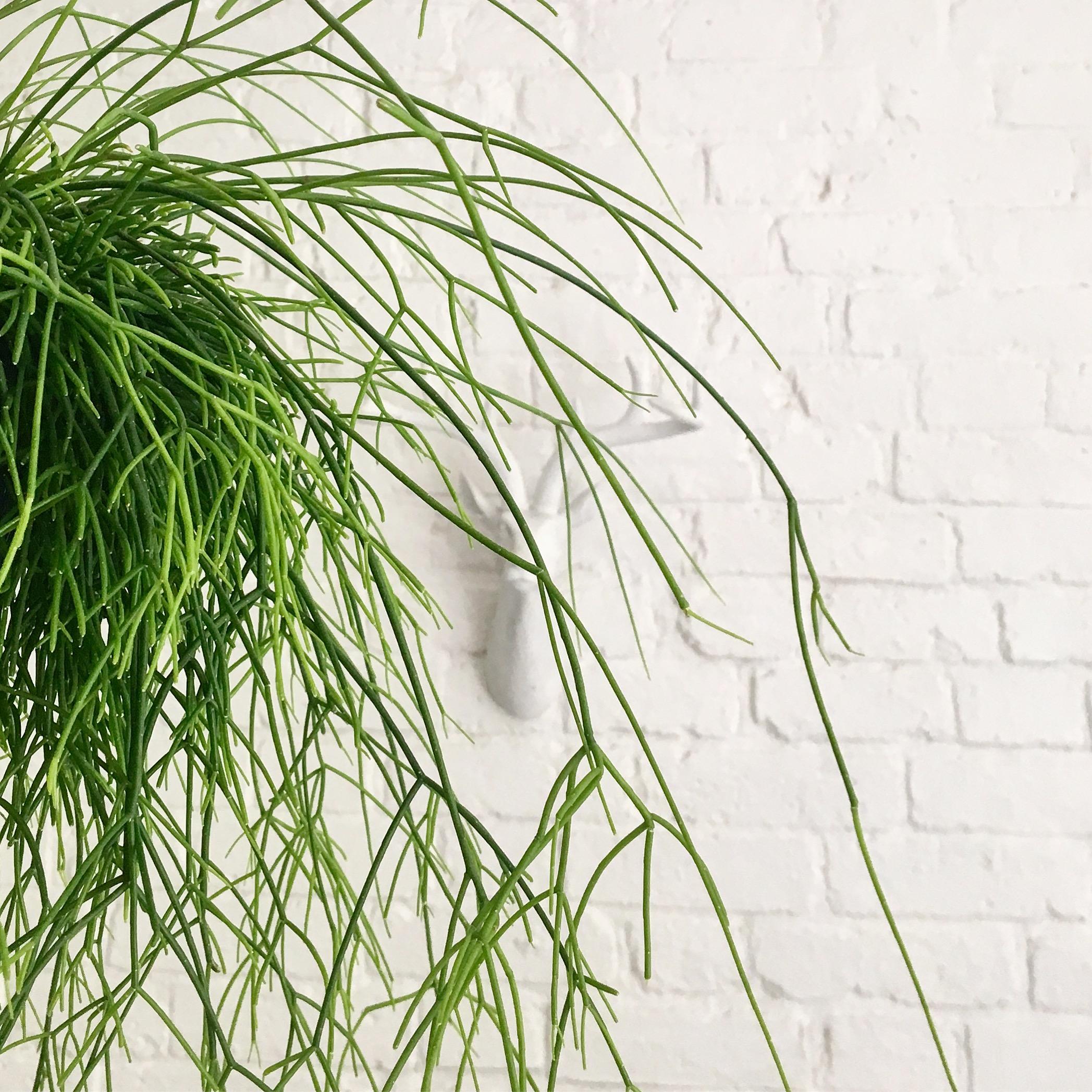 Hairy Alien Hanging Plant a.k.a. Mistletoe Cactus