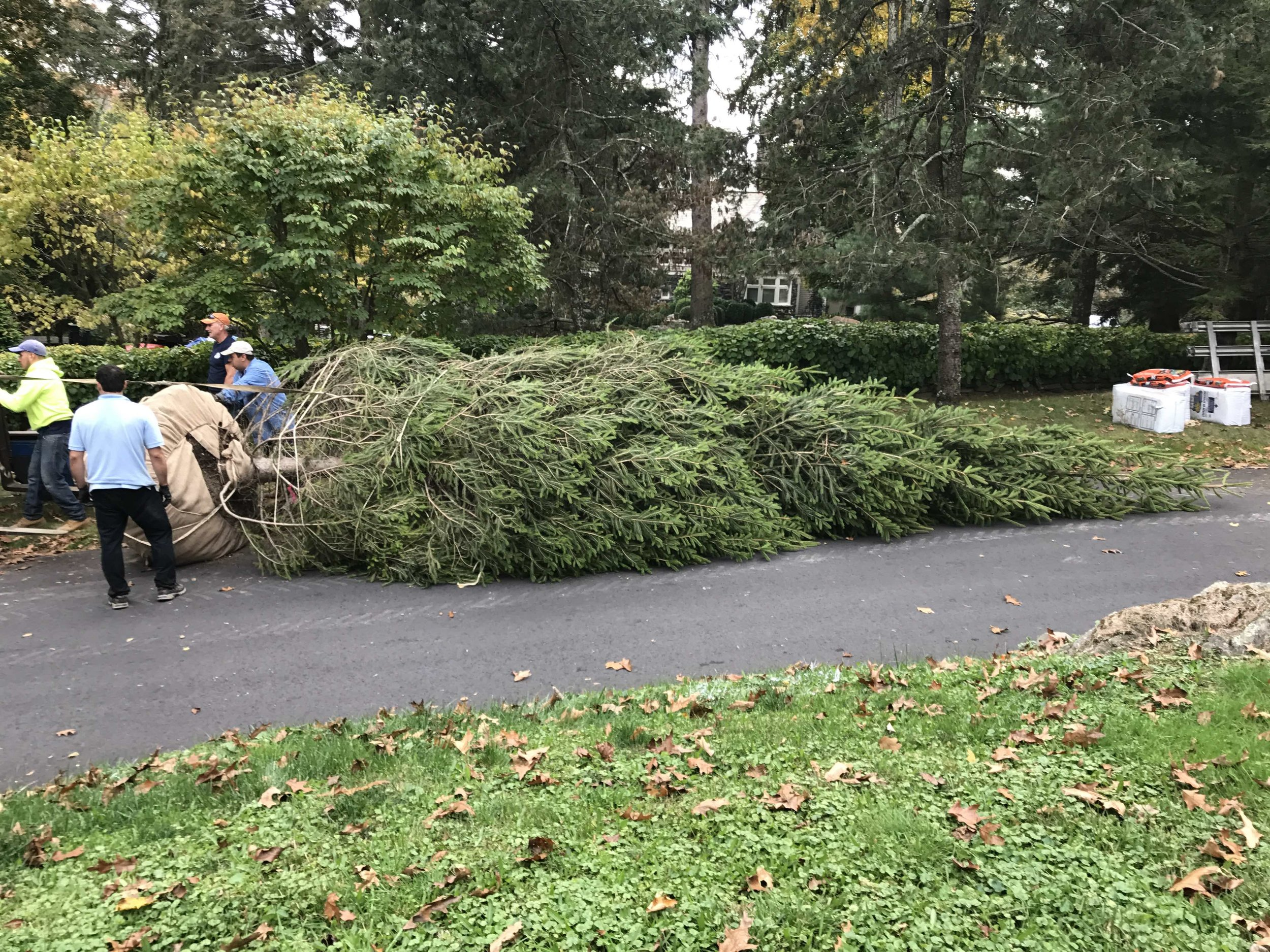 30ft. Norway Spruce