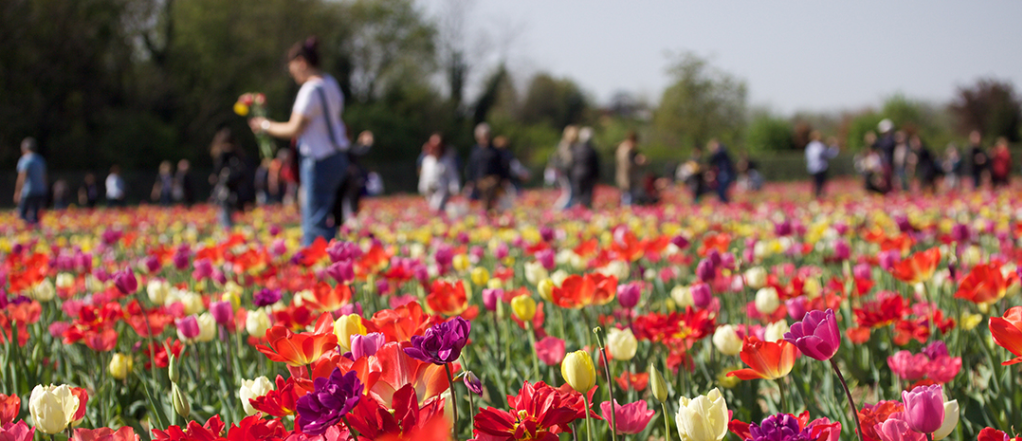 Image courtesy: Wicked Tulips Flower Farm