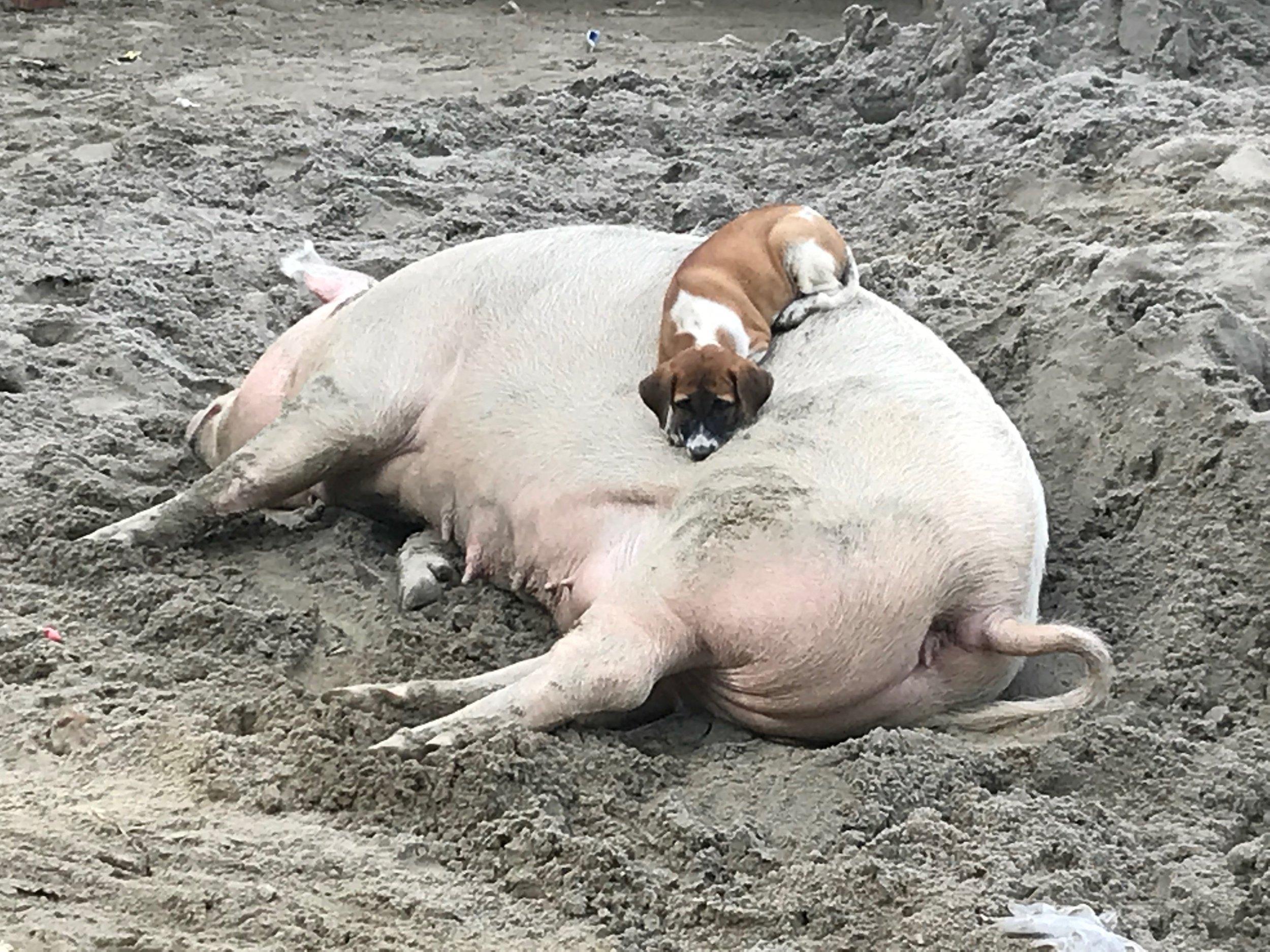 seven pig.JPG