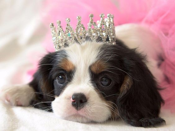 4. Visit a Dog Show - The Cavalier King Charles Spaniel Championship Show in Melbourne