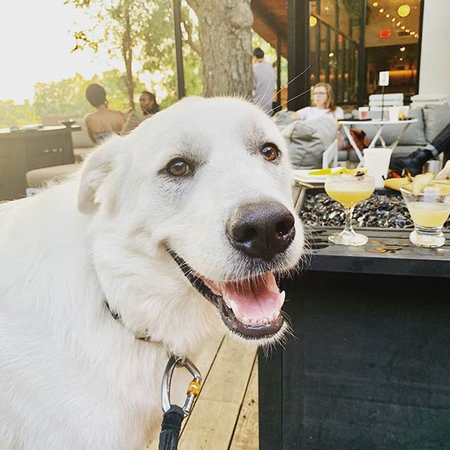 Happy dog  at Tillery hanging with you, bow-wow. Reason to take your dog out with you?.... Monday half- price specialty cocktails; Tuesday half-price appetizers. Let's bounce. #tillerykitchenandbar  #dogfriendly  #outdoorrestaurant  #512thingstodo  #outdoorpatio  #happyhouratx