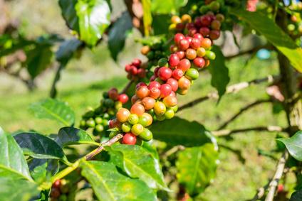 Ripening arabica coffee beans