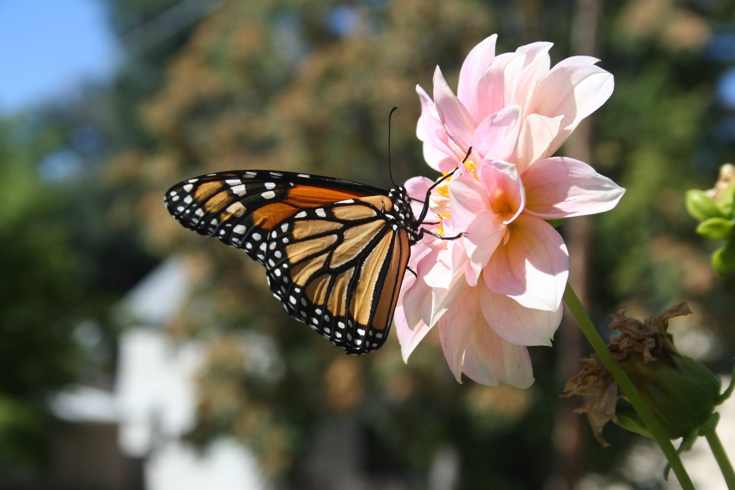 monarch2.1.jpg