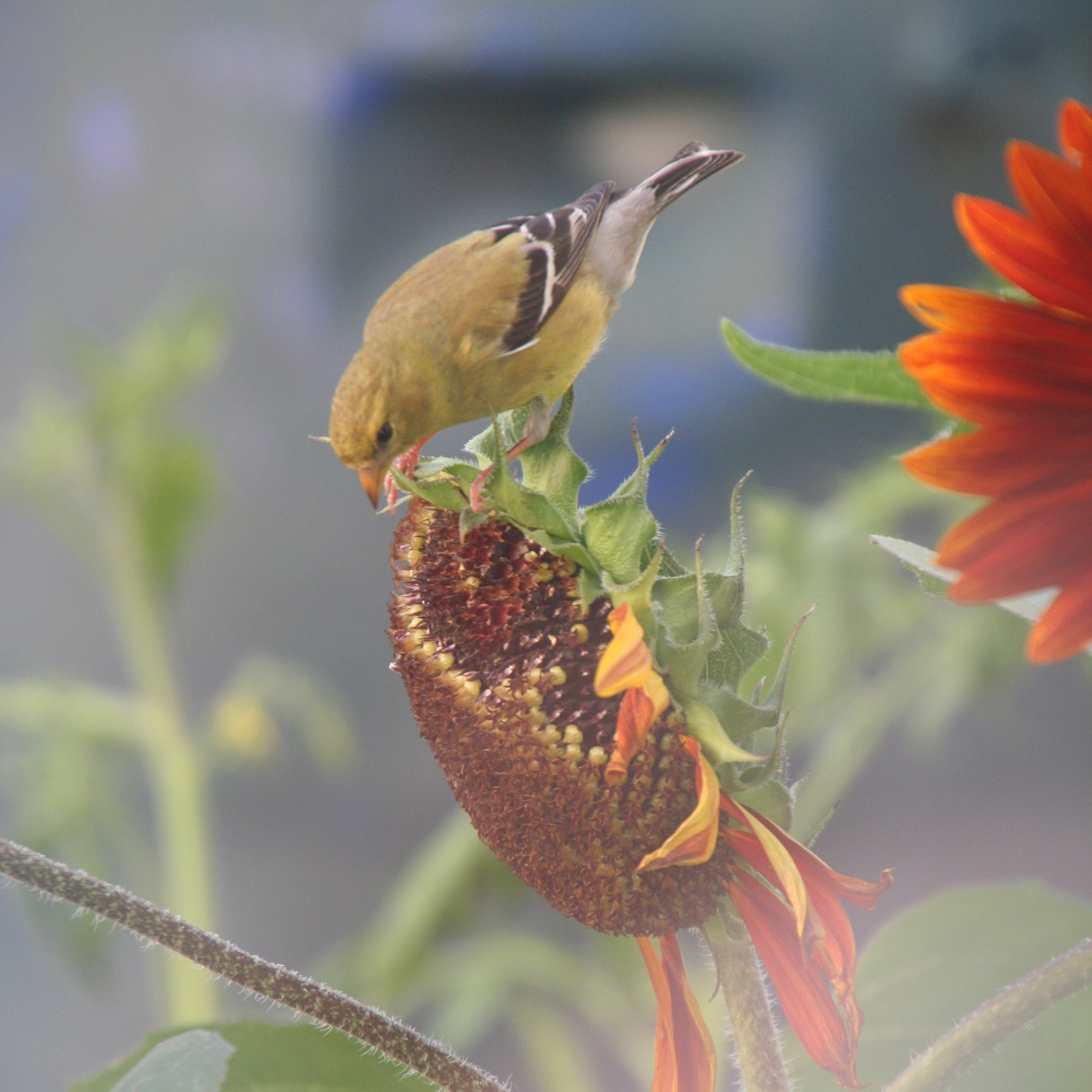 A bird landing on the top of a sunflower - My Sustainable Home Landscapes