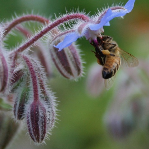 Why Keep Bees? - A Bee Pollinating A Flower In My Back Yard