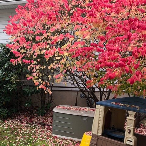 A Euonymous alatus (Burning Bush)- Exotic Invasives & Deer - How They Are Changing Ecosystems In New Jersey