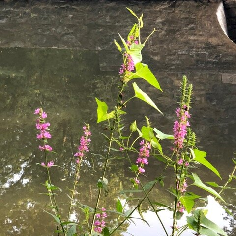 The Purple Loosestrife - Exotic Invasives & Deer - How They Are Changing Ecosystems In New Jersey