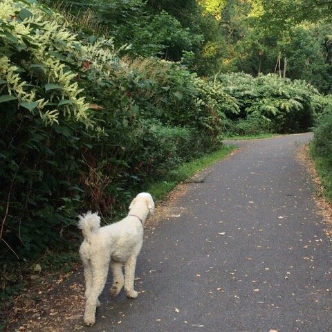Exotic Invasives & Deer - How They Are Changing Ecosystems In New Jersey - Walking My Dog In The Small Woods Near My Home