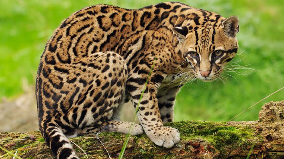 cropped-ocelot-animal-pic1.jpg