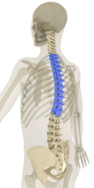 Thoracic spine is where the majority of rotation occurs in the spine.