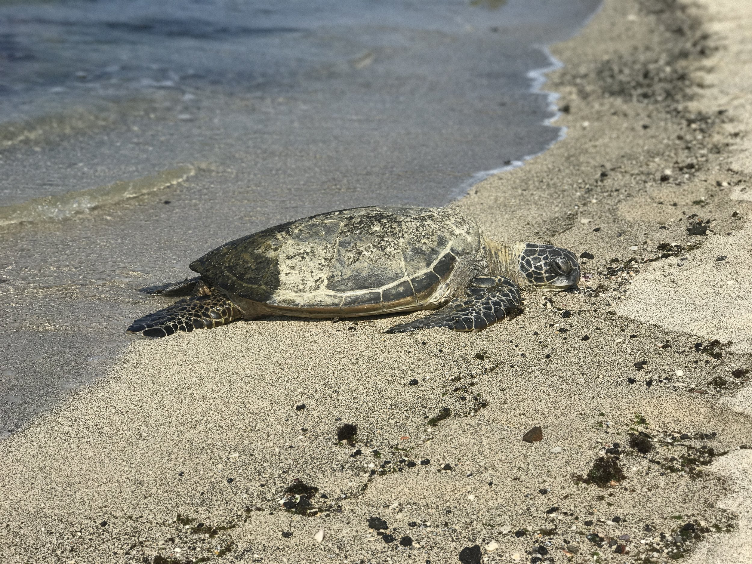 A sea turtle at the harbor in Hawaii