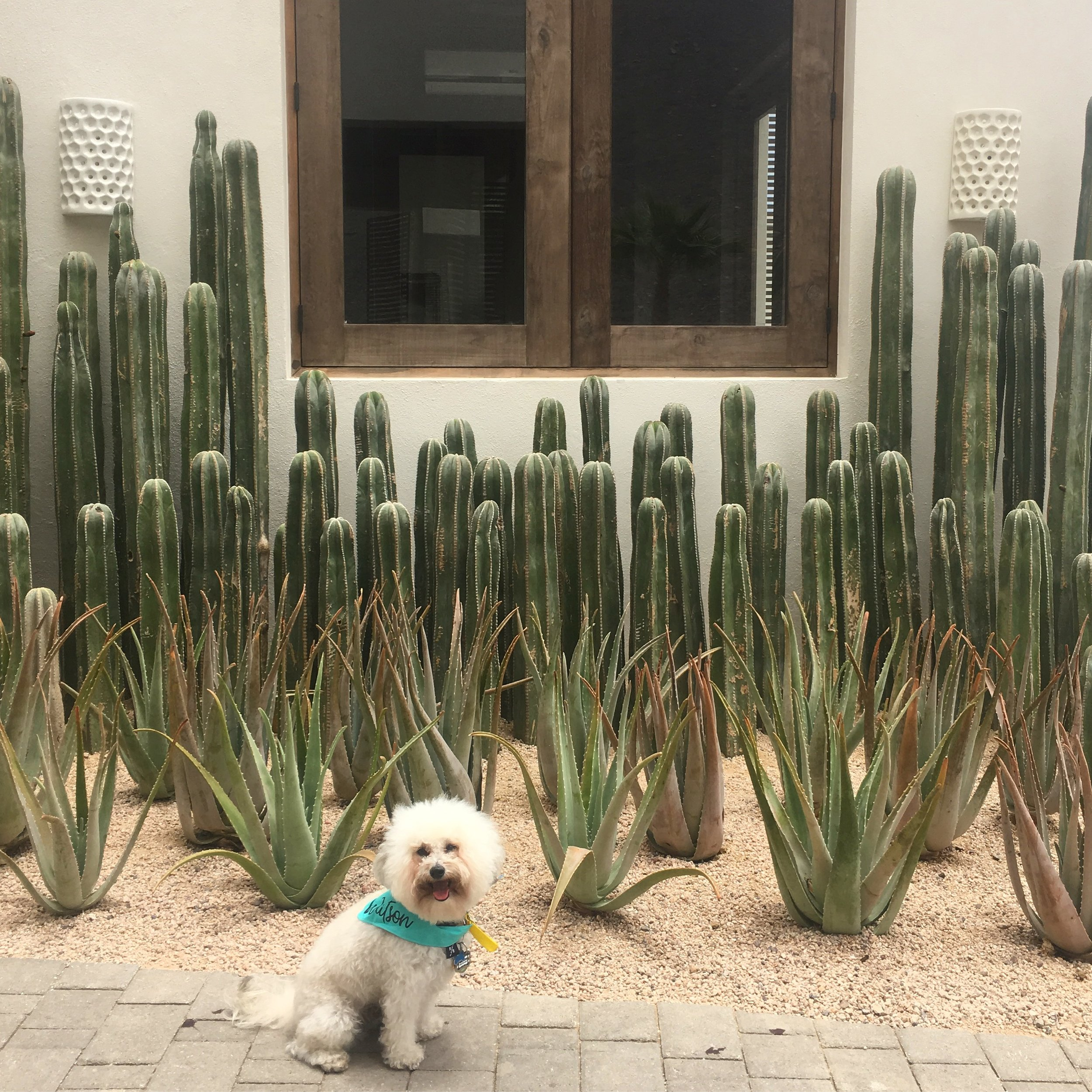 Watson by cactus at the Hotel San Cristobal in Todos Santos, BCS Mexico | Watson & Walls