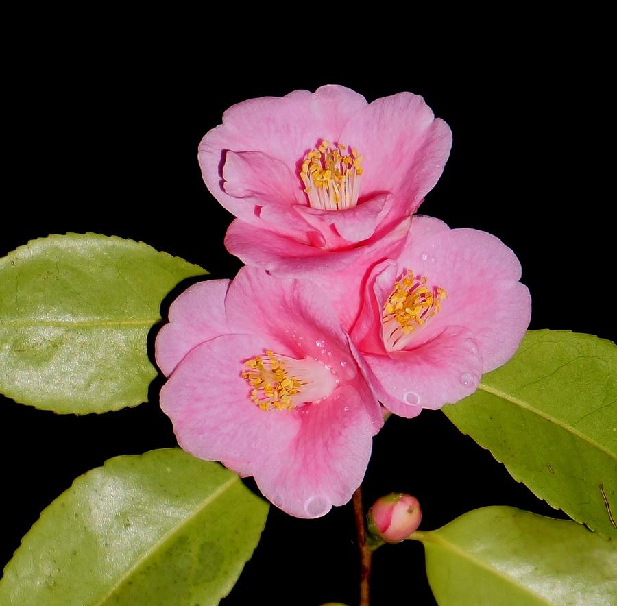 Rosaeflora