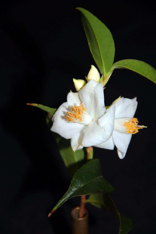 Sp. Salicifolia