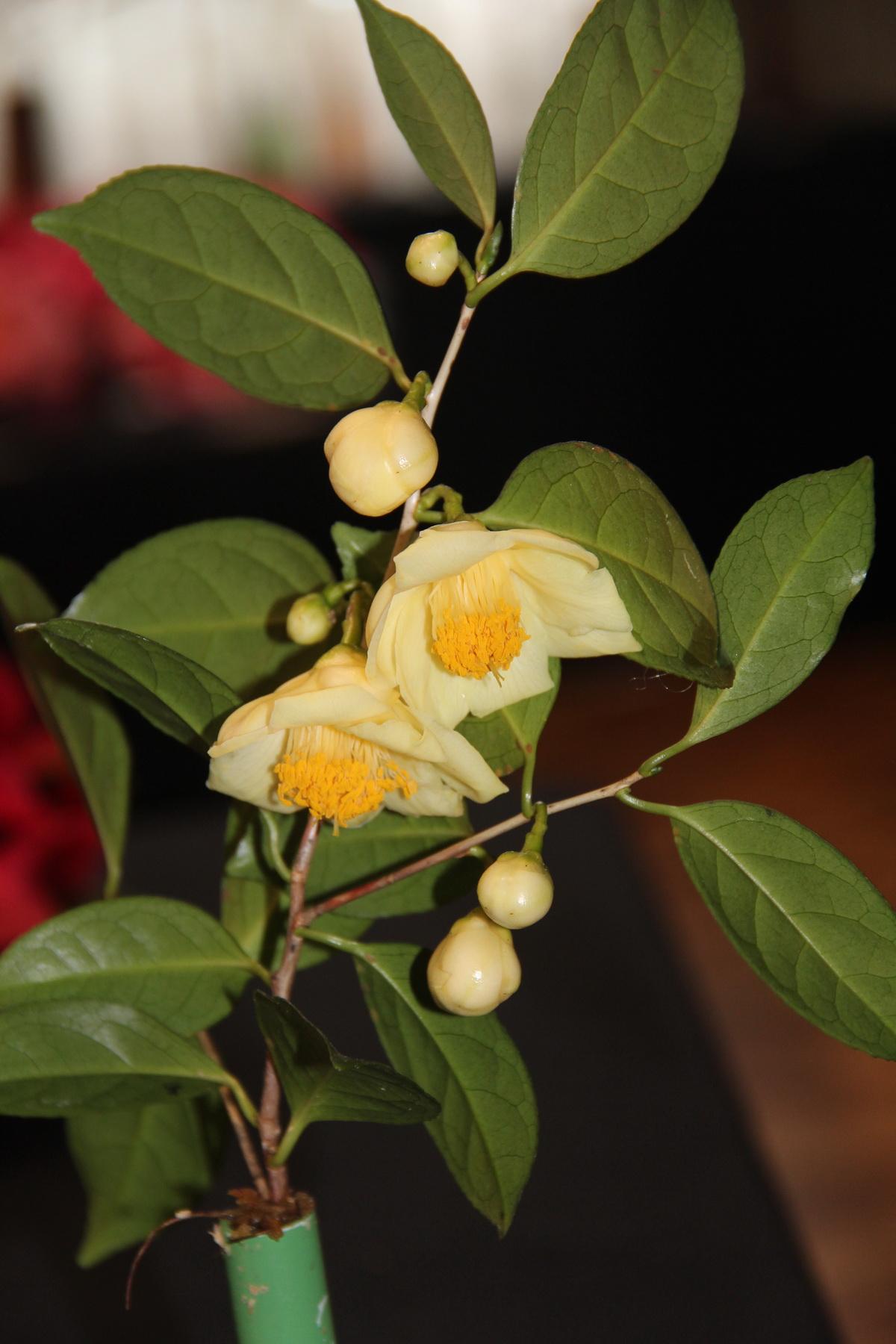 Sp. Pingguoensis
