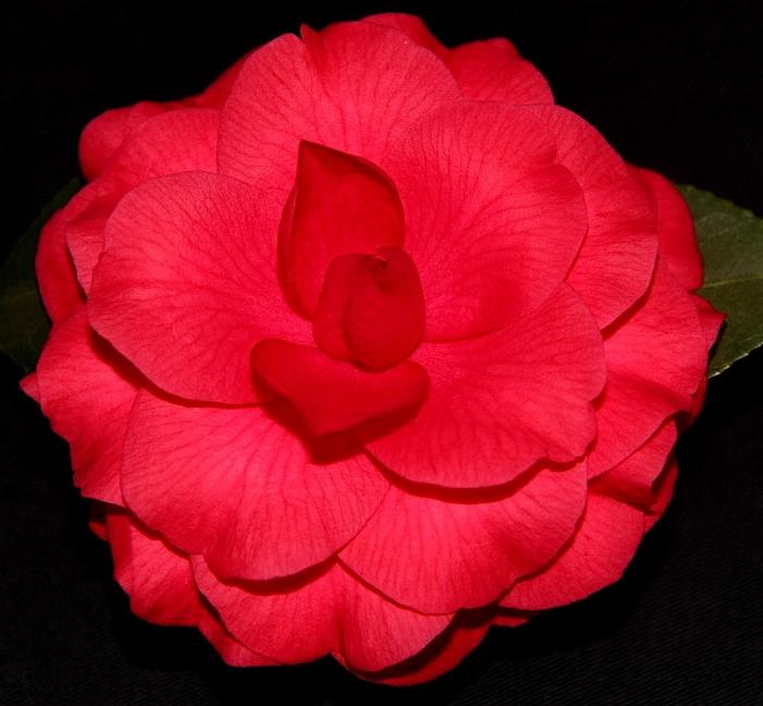 J. Red Red Rose